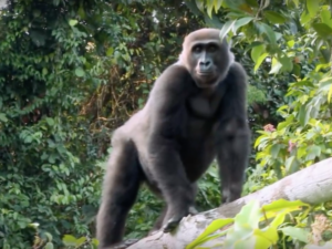This Man Raised a Gorilla As His Own, but Set Him Free Five Years Later…