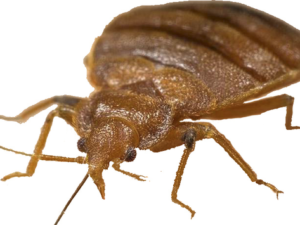 Does Your Dorm Have Bedbugs?